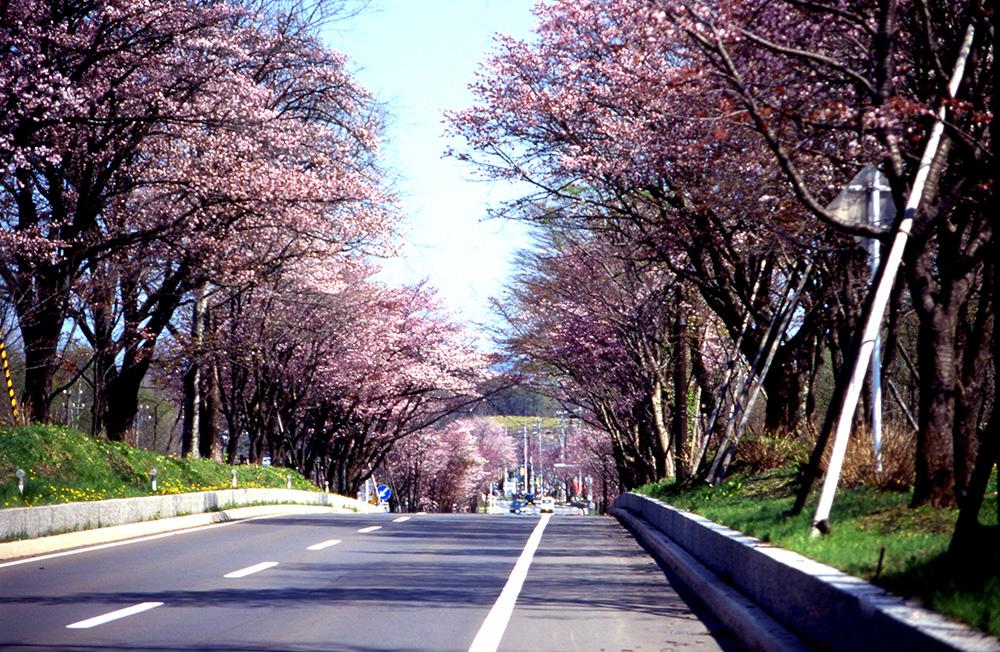 桜_1-05中登別桜のトンネル