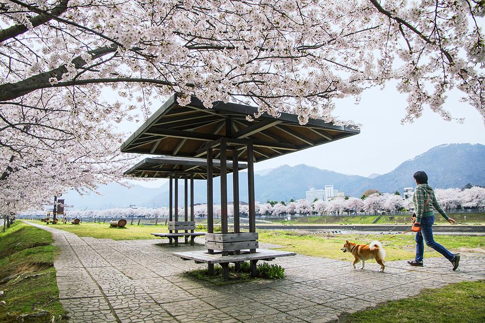 桜_2-04山形県提供_馬見ヶ埼さくらラインumaminat114