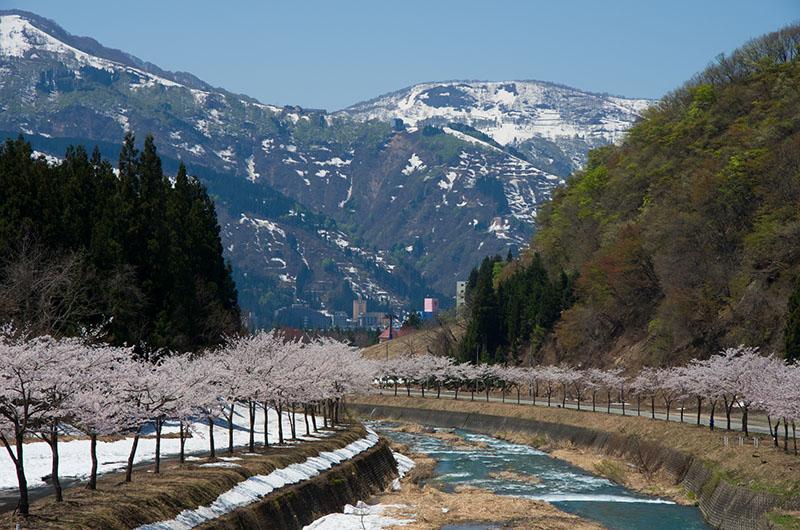桜_3-04新潟_岩原桜並木p