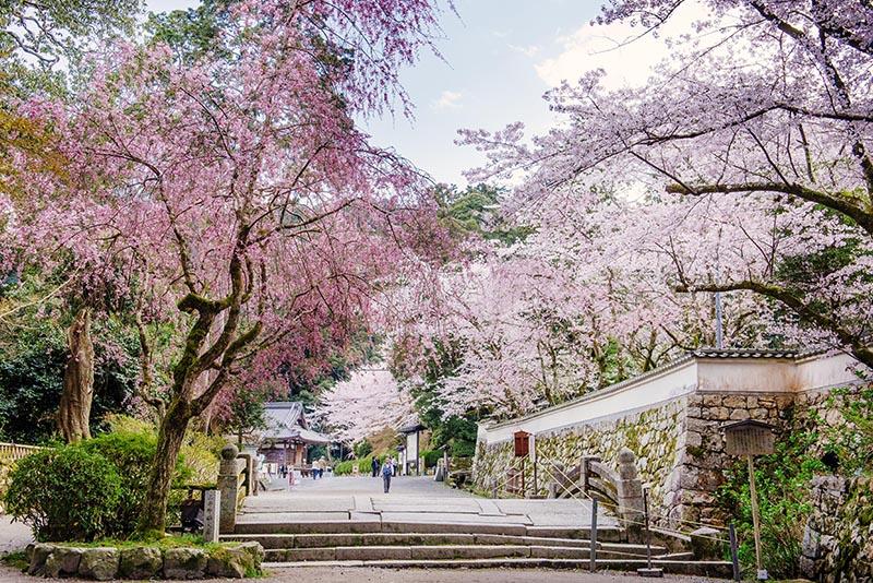 桜_5-02びわ湖大津観光協会_三井寺4