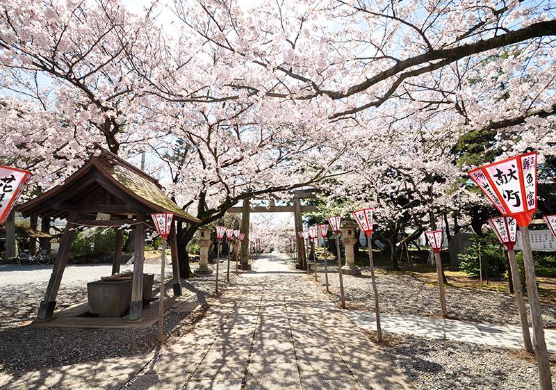 桜_3-10沼津市提供_日枝神社2