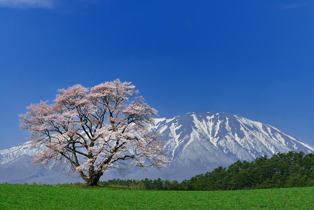 桜_2-02繋鶯宿_小岩井農場